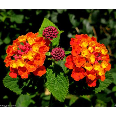1 Planta Lantana Camara. Banderita Española. Altura: 20/40 cms