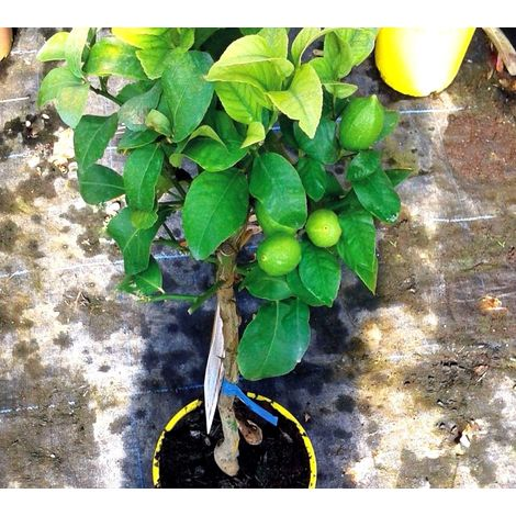 1 Planta Limonero Ureka, Citrus Limon. 120/130 Cm.