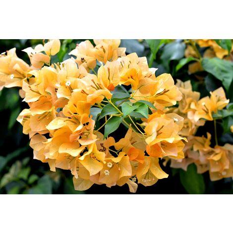 1 Planta Trepadora. Buganvilla. Bougainvillea. Naranja Flor de Papel. 120 Cm