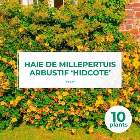 10 Millepertuis Arbustif 'Hidcote' (Hypericum 'Hidcote') - Haie Basse de Millepertuis Arbustif -