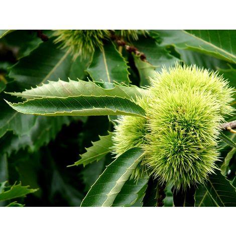 10 Plantas. Castaño de Fruto Castaña, Castiñeiro, Castanea Sativa