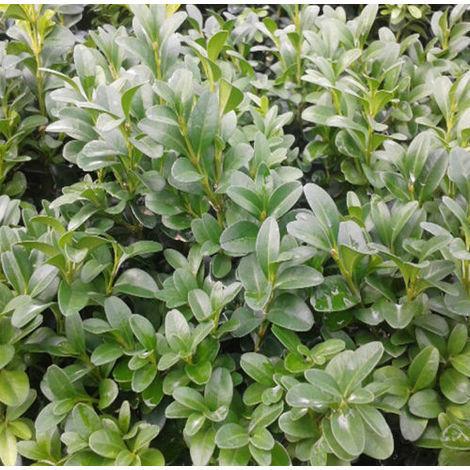 10 Plantas de Buxo, BOJ, Buxus Sempervirens, para Borduras y Setos