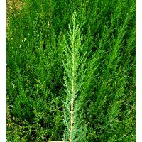100 Plantas Setos Cupressus Sempervirens. Cipres Común. 25 - 30 Cm