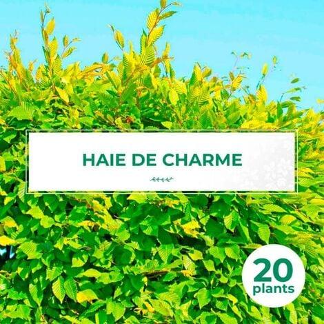 20 Charme Commun (Carpinus Betulus) - Haie de Charmille -