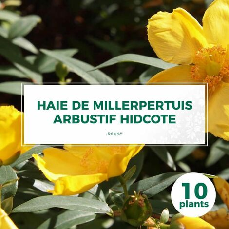 20 Millepertuis Arbustif 'Hidcote' (Hypericum 'Hidcote') - Haie Basse de Millepertuis Arbustif -