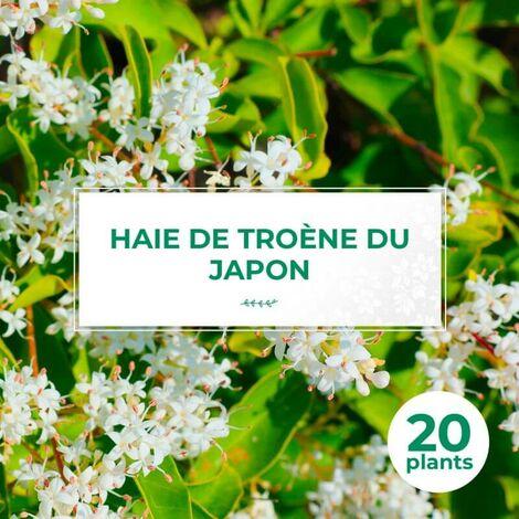 20 Troène Du Japon (Ligustrum Japonicum) - Haie de Troène du Japon -
