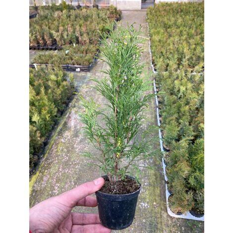 24 piante Thuja Occidentalis Smaragd Tuja Smeraldo in vaso 9x9 cm Pacchetto promozione piante
