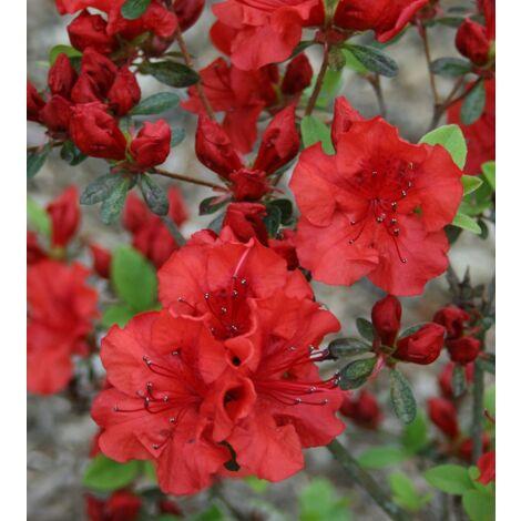 3 piante di Azalea Japonica in vaso 1 rossa 1 rosa 1 porpora