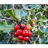 3 Plantas. Acebo, ilex aquifolium. 3 Plantas de 25 - 30 CM