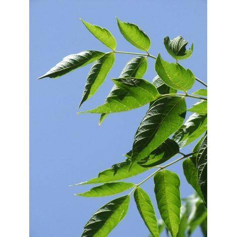 3 Plantas de Arce Negundo. En alveolo forestal. 40 - 50 Cm