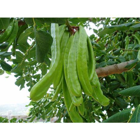 "main image of ""3 Plantas de Ceratonia Siliqua - Algarrobo. En alveolo forestal. 20 - 30 Cm"""
