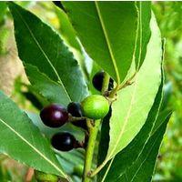 3 Plantas de Laurel comestible, loureiro, laurus nobilis. 20 - 30 Cm