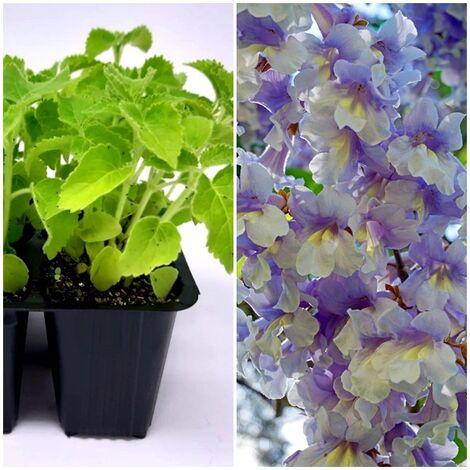 3 Plantas Paulonia, Paulownia Tomentosa. Gran Sombra y Productor de Oxigeno
