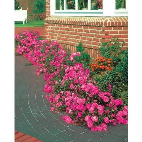 Rosales paisajísticos y rosales mini