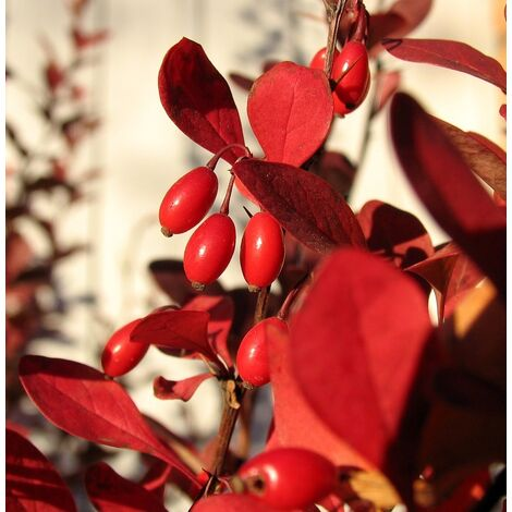 4 Plantas de Agracejo Japonés Rojo. Berberis Thunbergii Atropurpurea