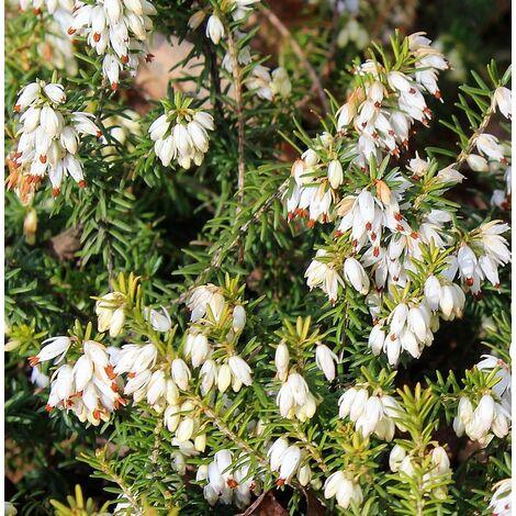 "main image of ""4 Plantas de Brezo Blanco. Ideal para Setos. Erica Arborea. 10 - 15 Cm"""