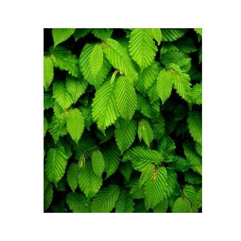 4 Plantas de Carpe para Setos. Carpinus Betulus. 30 - 40 Cm