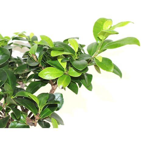 4 Plantas de Ficus Nitida. Laurel de Indias. Ideal para Crear Bonsais