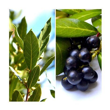 4 Plantas de Laurel. Laurus Nobilis. para Seto O Arbol Aislado