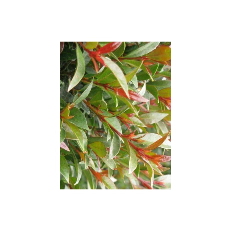 5 PZ Pianta di Eugenia Myrtifolia Siepe arredo balcone giardino vaso 7