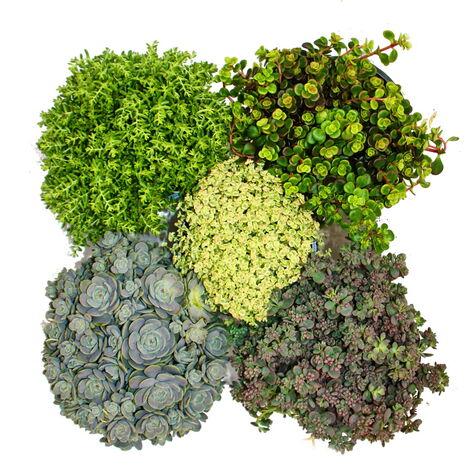 5 plantes de sedum résistantes à l'hiver - culture en pierre - jeu de couleurs varié