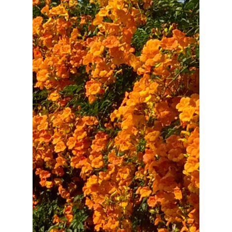 5 pz pianta di bignonia grandiflora rampicante piante rampicanti vaso 7