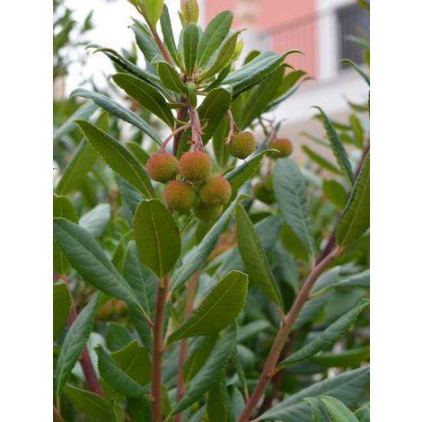 5 pz pianta di corbezzolo pianta arbutus unedo frutto albero da frutta vaso 7