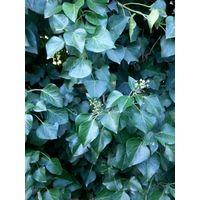 5 pz pianta di edera ibernica hedera hibernica rampicante vaso 7 edera irlandese