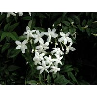 5 pz pianta di gelsomino jasminum officinale rampicante vaso 7