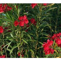 5 pz pianta di oleandro cespuglio di oleandro rosso vaso 7