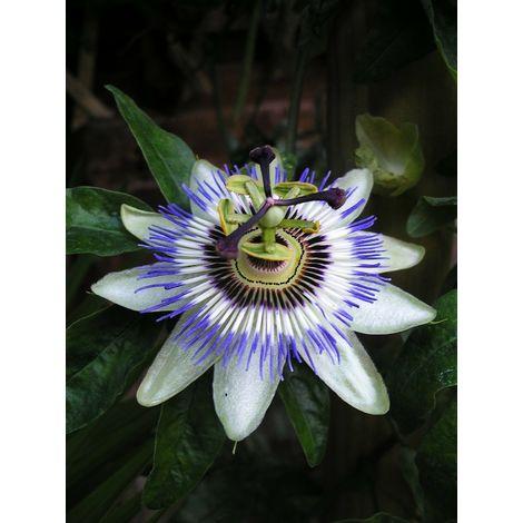 5 pz pianta di passiflora caerulea pianta rampicante arredo giardino vaso 7