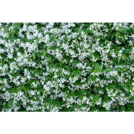5 pz pianta di rhyncospermum falso gelsomino bianco rampicante rincospermo vaso7