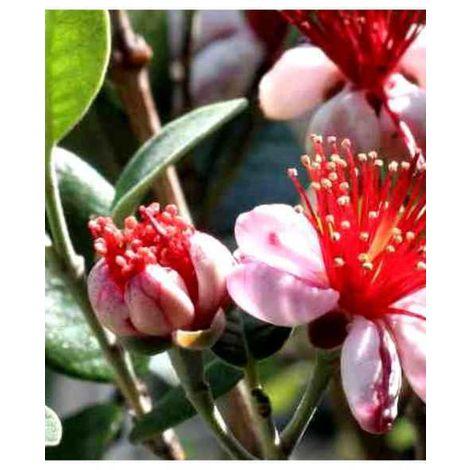 5 pz piante di feijoa sellowiana  vaso 7 acca sellowiana burret