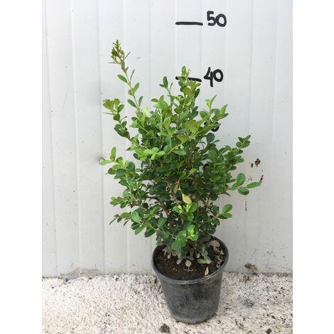 50 PIANTE Bosso Buxus sempervirens vaso 14cm