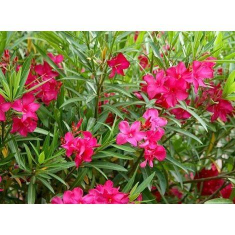 """main image of """"50 piante di oleandro colori assortiti (Oleandro Nerium) foto reali H 120"""""""