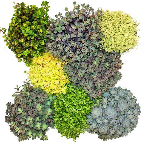 8 plantes Hardy Sedum - orpin - jeu de couleurs varié