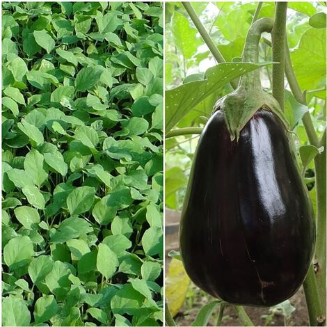 9 Plantas de Berenjena Negra de Paris. Plantel Huerto