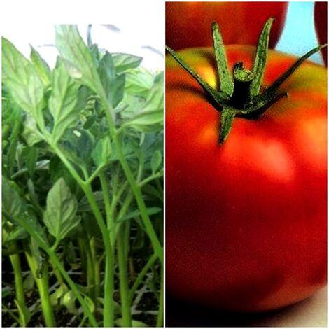 9 Plantas de Tomate Optima Ensalada Gordo. Plantel Huerto