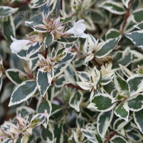 Abelia Conti - Maceta de 5Litros