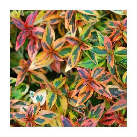 Abelia Kaleidoscope - Maceta de 5Litros