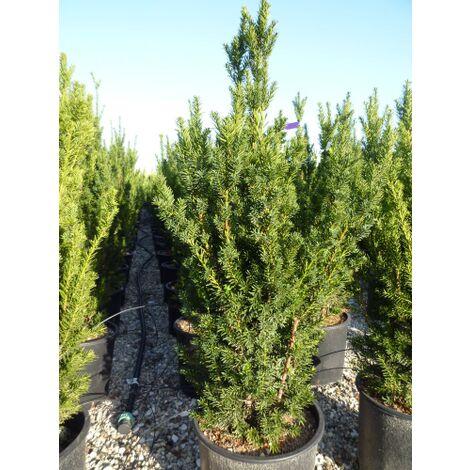 """Abete Blu Argentato """"Picea Pungens Kosteriana Hoopsii"""" in vaso ø18 cm h.40/60 cm"""