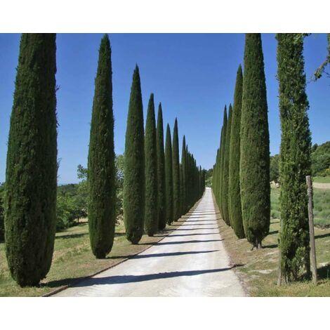 """Abete Blu Argentato """"Picea Pungens Kosteriana Hoopsii"""" in vaso ø26 cm h.100/120 cm"""
