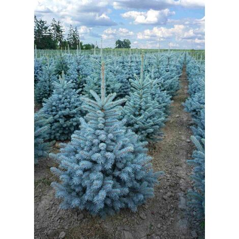 "Abete Picea Pungens ""Super Blue Seedling"" in vaso ø14 cm h.30/40 cm"