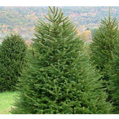 Abete rosso picea abies albero di natale peccio altezza 125-150 cm