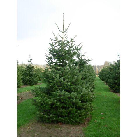Abies Nordmanniana Abete del Caucaso Normandiano Albero Di Natale h.50/70 cm
