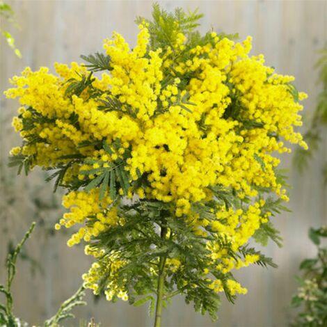 "Acacia Dealbata ""Mimosa"" h.2 metri"