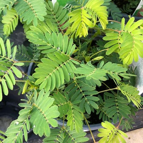 Acacia sensitiva (Mimosa pudica) [Vaso Ø14cm]