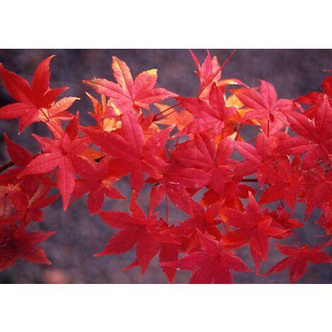 Acer Palmatum, Acero Palmato Giapponese, Pianta in vaso ø16 cm h.80/110 cm