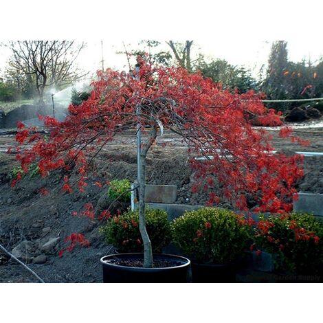 """Acero """"Acer Palmatum Dissectum Inaba Shidare"""" in vaso ø24 cm h.120 cm (pianta adulta)"""