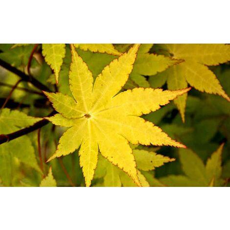 "Acero Giapponese ""Acer Palmatum Summer Gold"" in vaso ø20 cm"